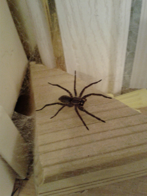 The spider that keeps insects out of the bathroom