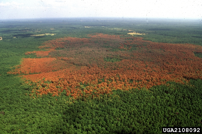 acres of pine trees dead due to pine beetles