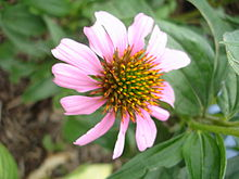 Tennessee coneflower, Echinacea tennesseensis