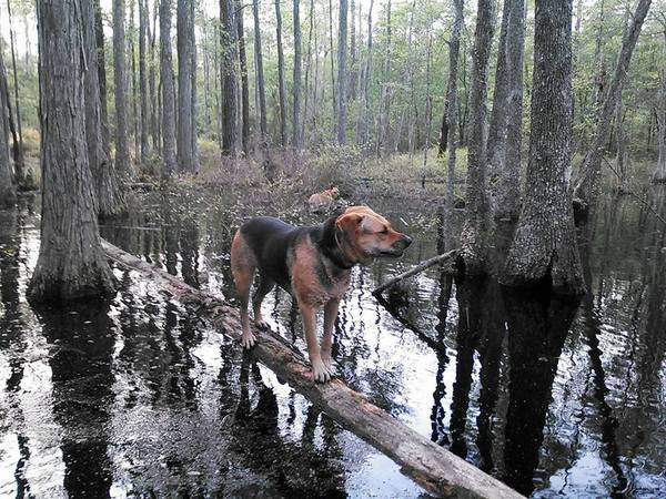600x450 Brown Dog on a floating log and Yellow Dog in the water, in Swamp Circus Act, by John S. Quarterman, for Okra Paradise Farms, 11 April 2014