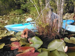300x225 Brown Dog found Gretchens boat, in Two dogs in a small kayak, by John S. Quarterman, for Okra Paradise Farms, 29 May 2014