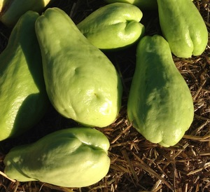 300x274 Chayote fruit, in Minor food crops to consider for the hobby gardener or small scale farmer, by Bret Wagenhorst, for OkraParadiseFarms.org, 14 December 2014