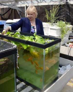 300x377 Dr. Pat Duncan with tilapia, in Basics for integrating vegetable and fish production in aquaponics, by Pat Duncan, for OkraParadiseFarms.com, 22 December 2014