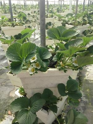 300x400 Pot, in Hydroponic Greenhouses, by Gretchen Quarterman, for OkraParadiseFarms.com, 18 January 2015