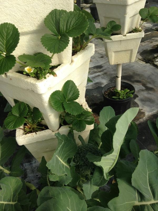 600x800 Broccoli, in Hydroponic Greenhouses, by Gretchen Quarterman, for OkraParadiseFarms.com, 18 January 2015