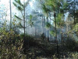 Why we burn: longleaf unharmed