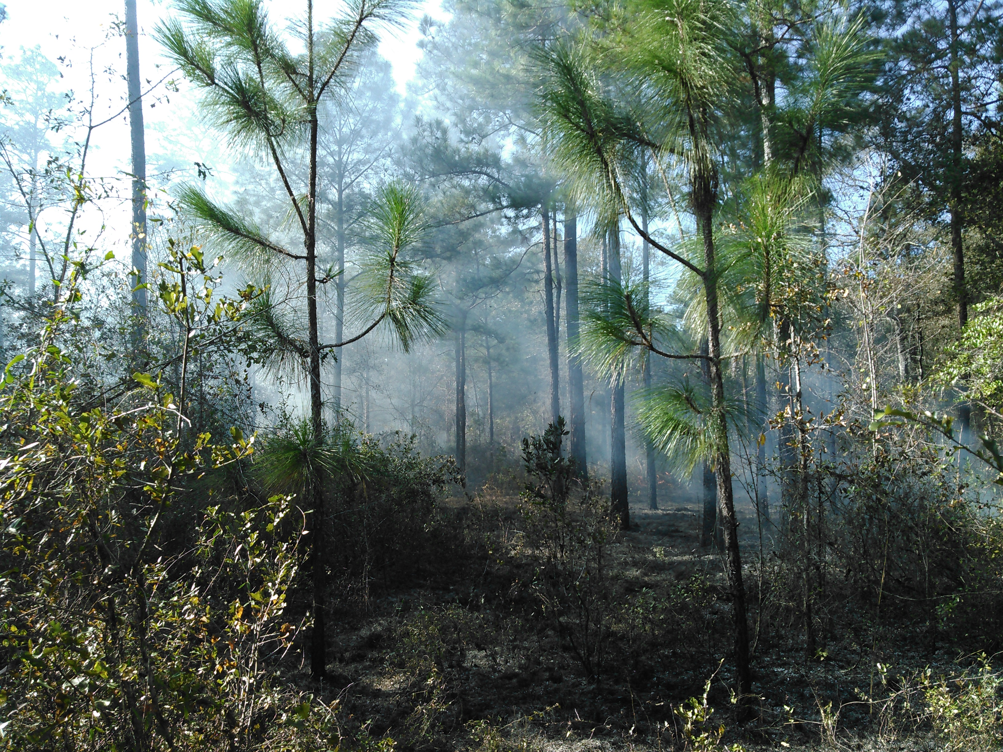 3264x2448 Why we burn: longleaf unharmed, in Prescribed burn, by John S. Quarterman, for OkraParadiseFarms.com, 5 December 2015