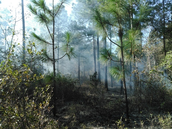 Why we burn: longleaf unharmed