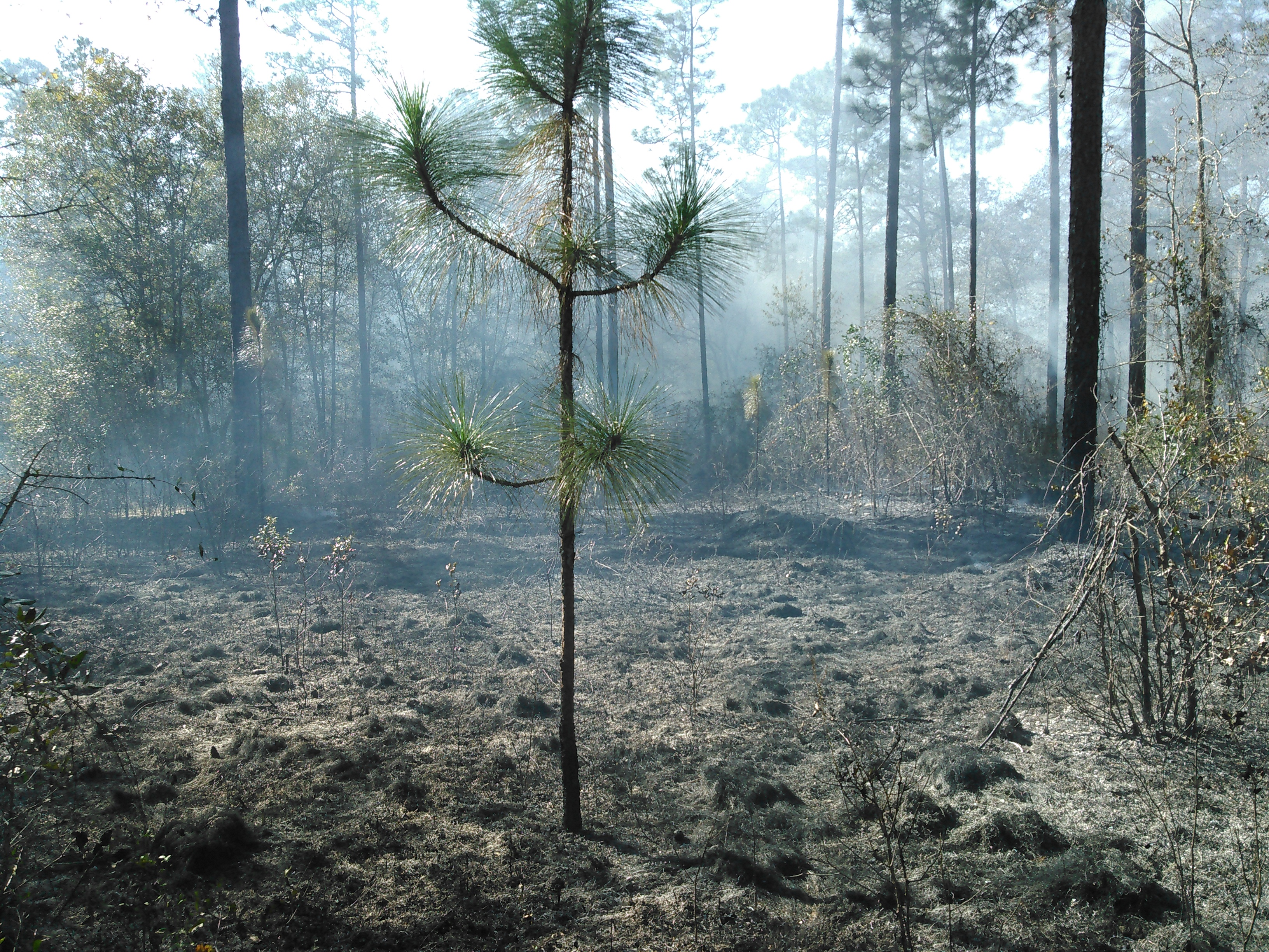 3264x2448 Longleaf near and far, in Prescribed burn, by John S. Quarterman, for OkraParadiseFarms.com, 5 December 2015