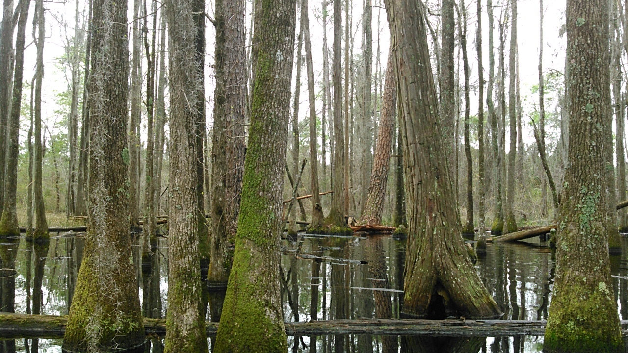 1280x720 Dogs, in Betty Marini in the Cypress Swamp, by John S. Quarterman, 18 March 2016