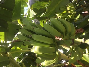 Bananas on tree