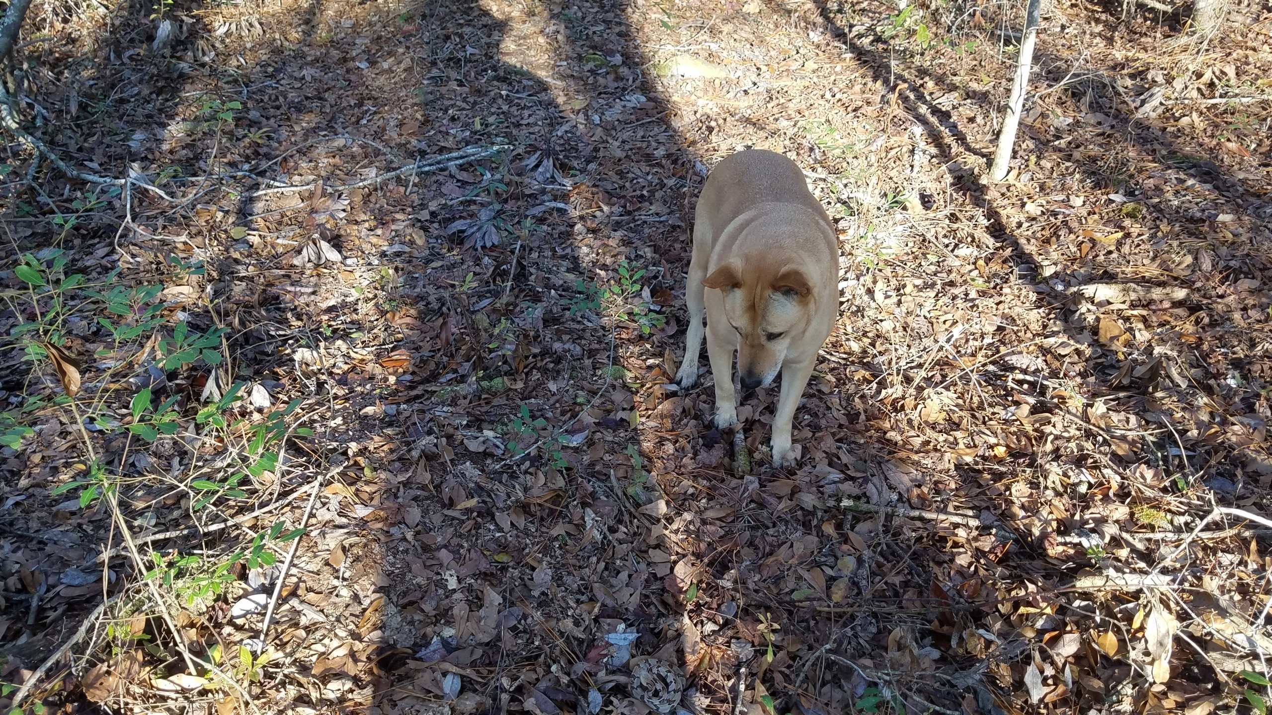 2560x1440 No, Yellow Dog, Snake, in Snake of the day, by John S. Quarterman, for OkraParadiseFarms.com, 22 December 2017
