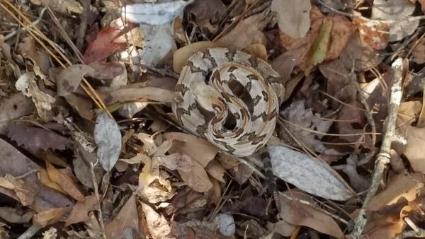 Six rattles, Snake