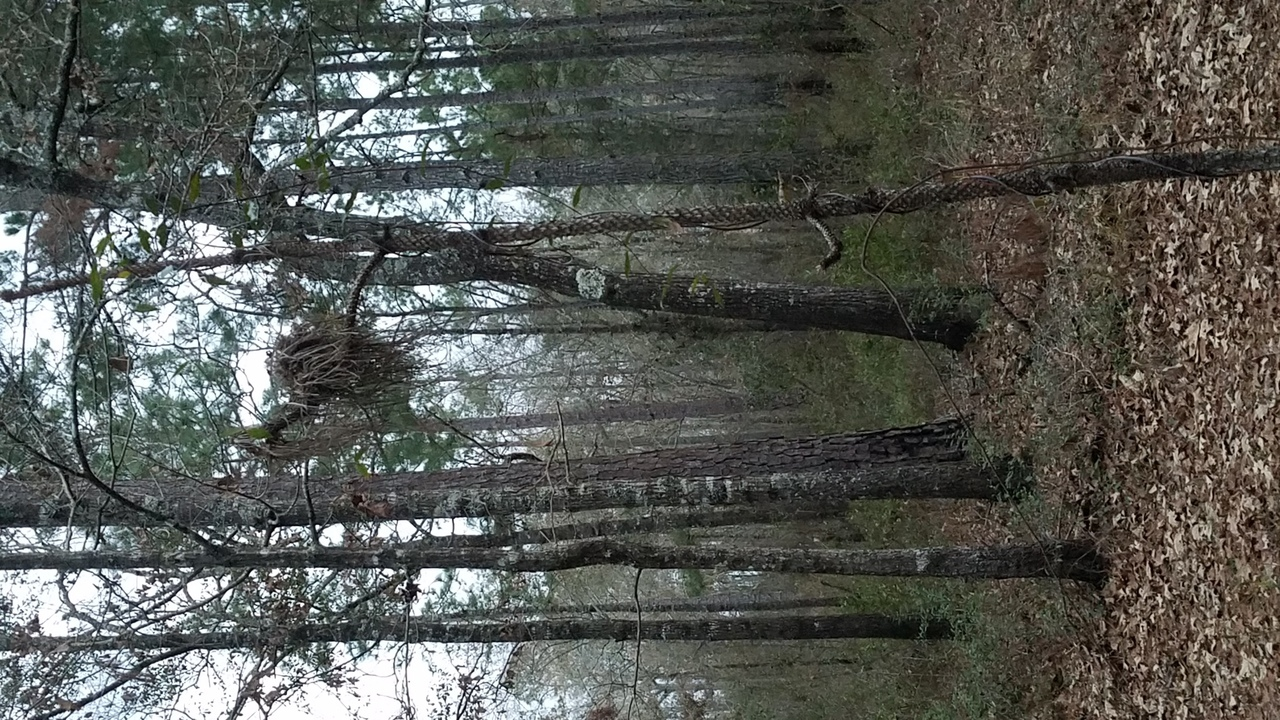 1280x720 Dead longleaf, Yellow Dog sniffing, in Pond with dogs at dusk, by John S. Quarterman, for OkraParadiseFarms.com, 22 January 2018