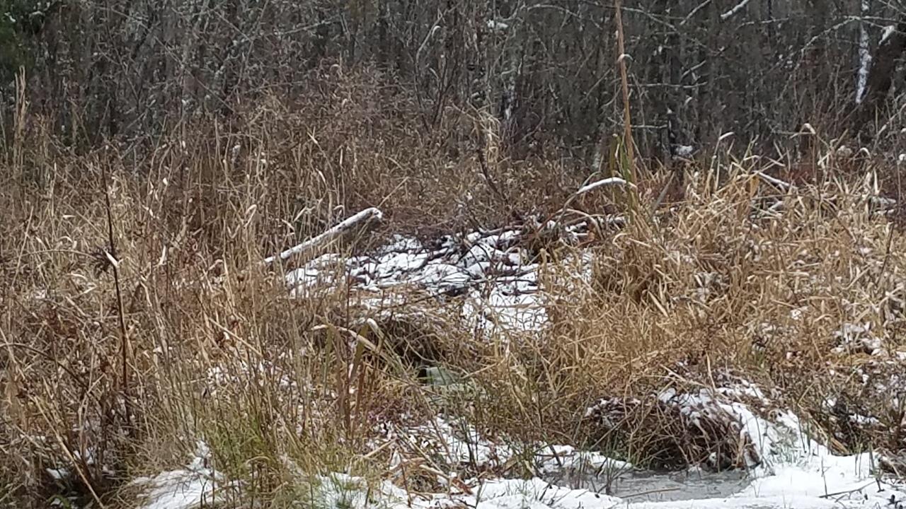 1280x720 Closer, Beaver houses, in Icy Pond, by John S. Quarterman, for OkraParadiseFarms.com, 3 January 2018