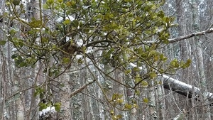 Mistletoe, East Shore