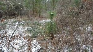 Longleaf sapling, Plants