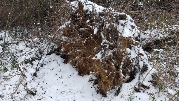 Oak tree roots, Fallen tree