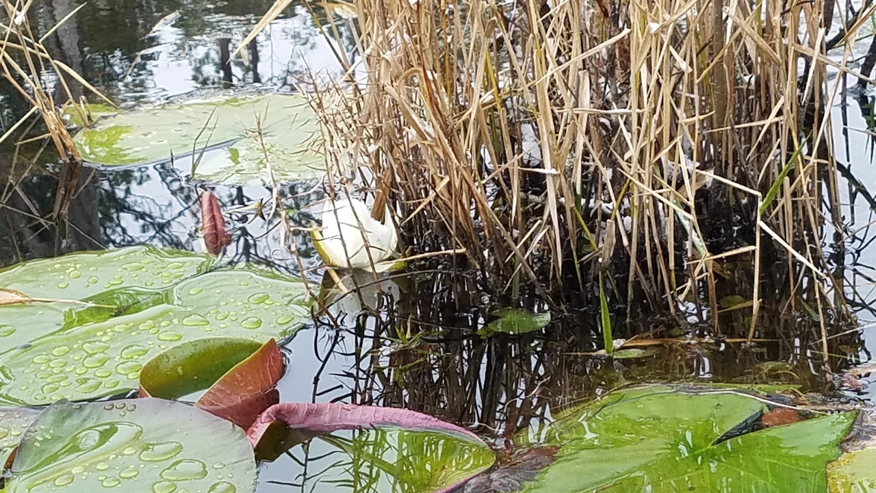 1280x720 Lily, Turn back, in Icy Pond, by John S. Quarterman, for OkraParadiseFarms.com, 3 January 2018