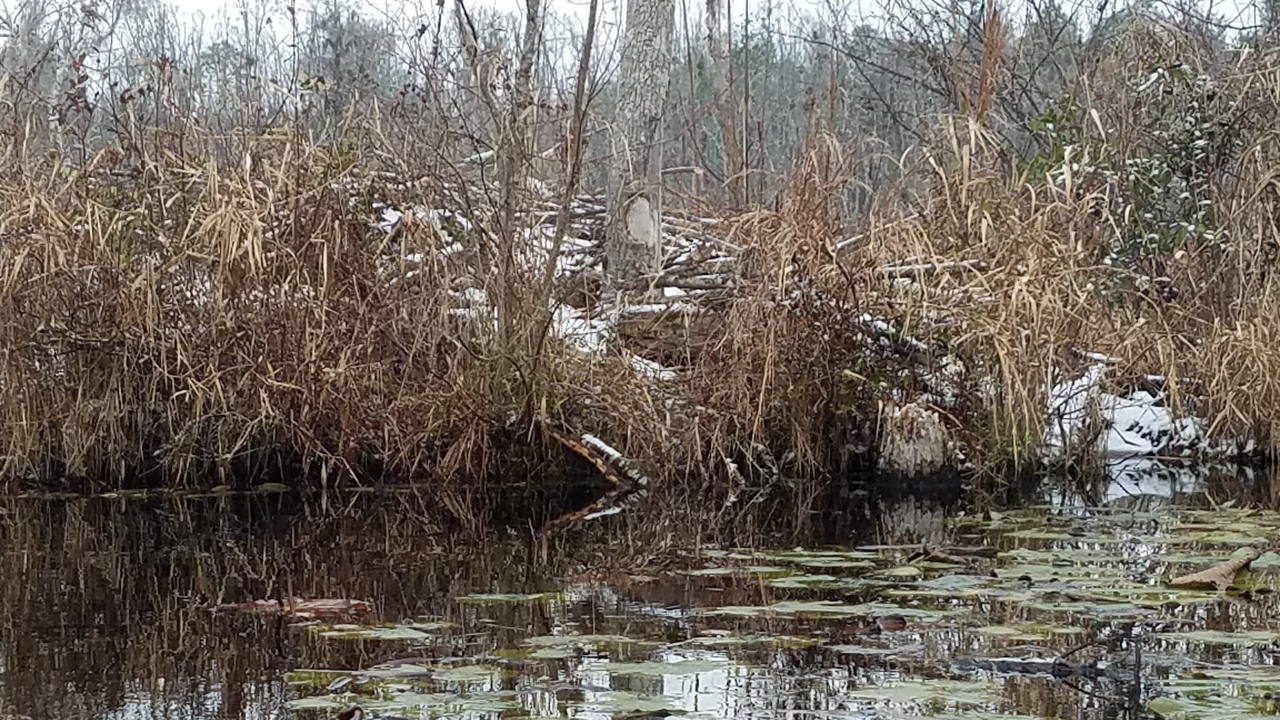 1280x720 Reflecting, Big beaver house, in Icy Pond, by John S. Quarterman, for OkraParadiseFarms.com, 3 January 2018