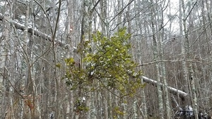 Ice mistletoe, East Shore
