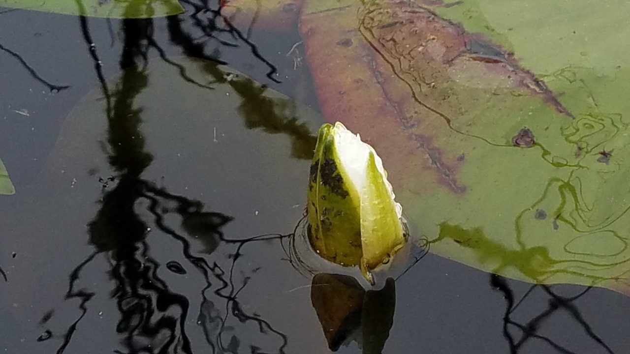 1280x720 Lily with ice, Between dams, in Icy Pond, by John S. Quarterman, for OkraParadiseFarms.com, 3 January 2018