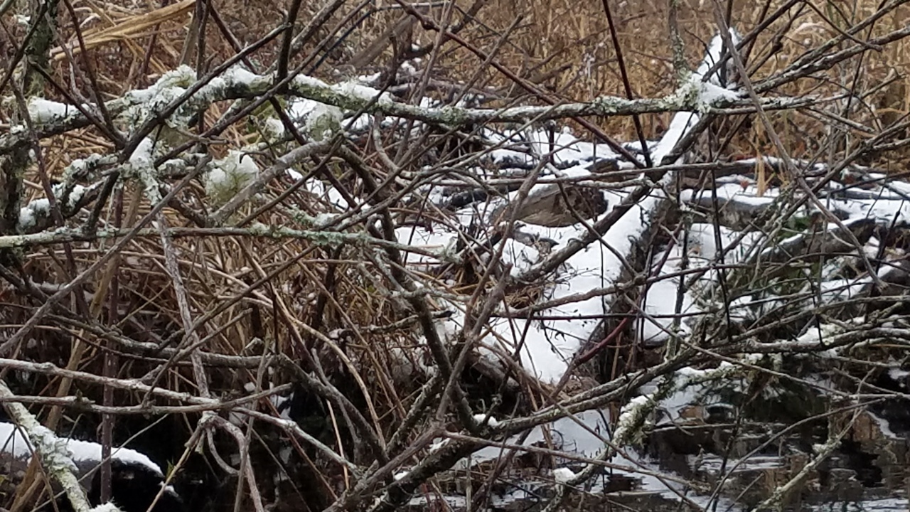 1280x720 Closeup, Beaver houses, in Icy Pond, by John S. Quarterman, for OkraParadiseFarms.com, 3 January 2018