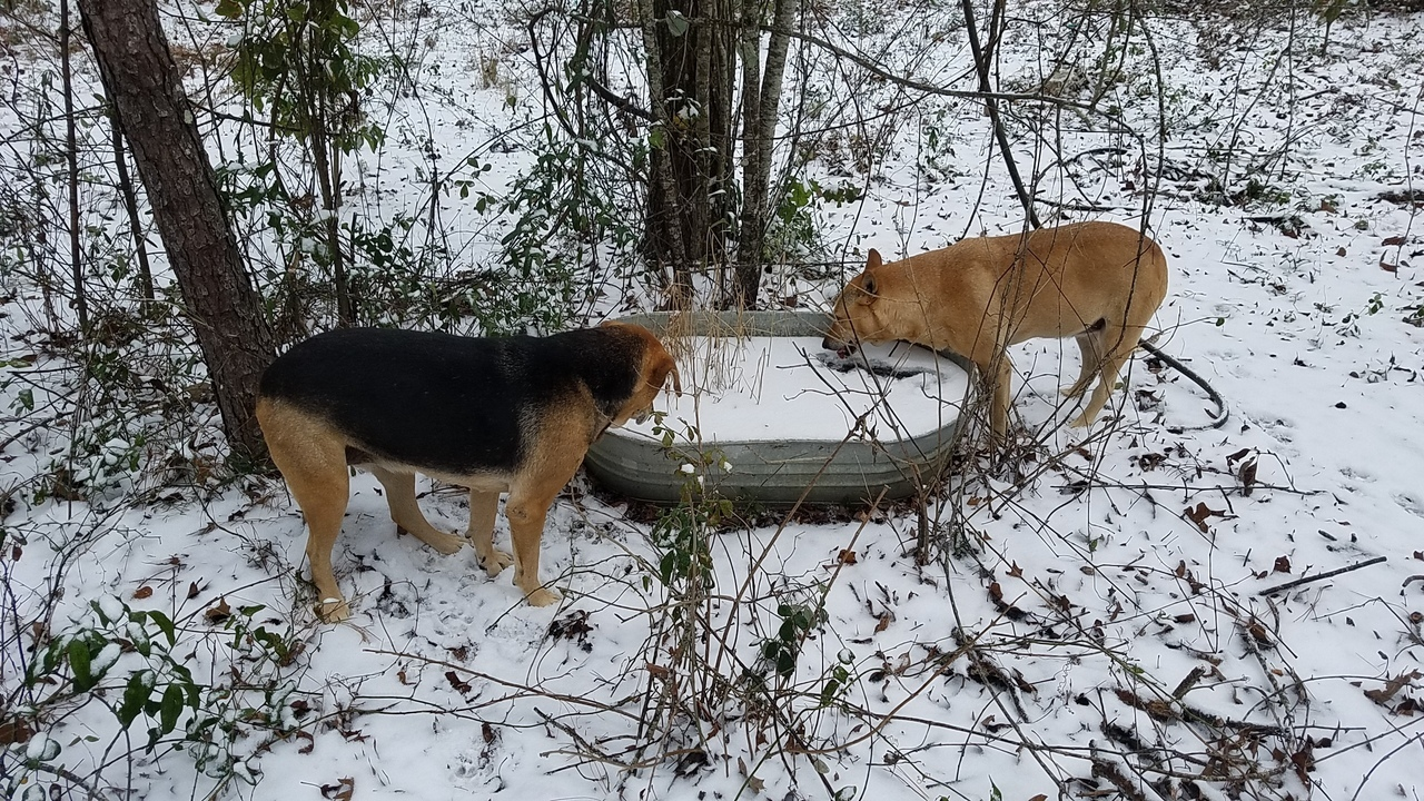 1280x720 Trying to drink, Dogs, in Snow and Ice, by John S. Quarterman, for OkraParadiseFarms.com, 3 January 2018