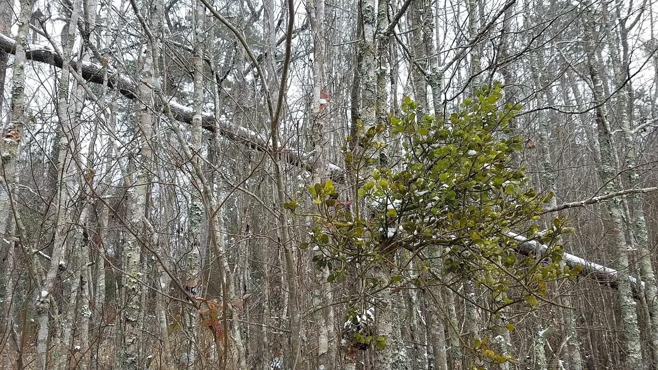 1280x720 Slant to mistletoe, East Shore, in Icy Pond, by John S. Quarterman, for OkraParadiseFarms.com, 3 January 2018