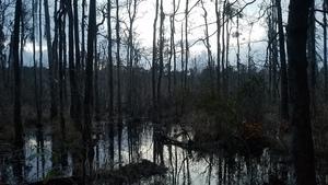 Pond swamp, Pond