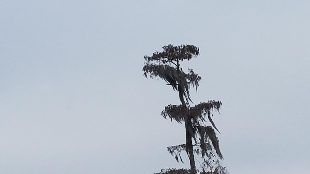 1280x720 Cypress, Northwards, in Icy Pond, by John S. Quarterman, for OkraParadiseFarms.com, 3 January 2018