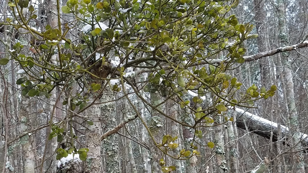 1280x720 Mistletoe, East Shore, in Icy Pond, by John S. Quarterman, for OkraParadiseFarms.com, 3 January 2018