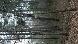 Dead longleaf, Yellow Dog sniffing