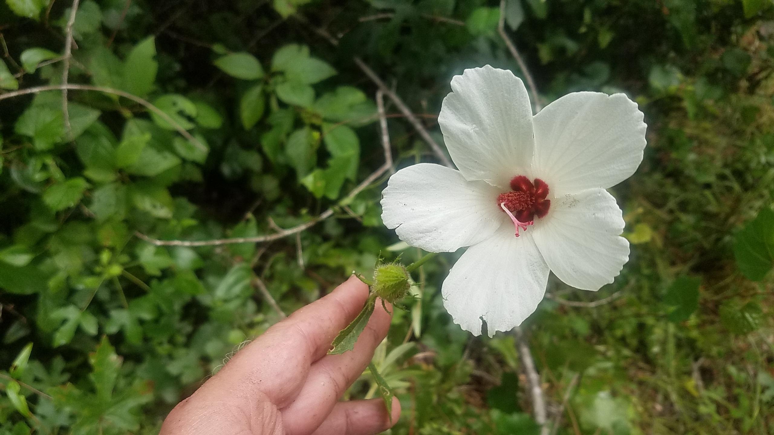 2560x1440 Five petals, Bloom and bud, in Halberleaf Rosemallow, by John S. Quarterman, for OkraParadiseFarms.com, 16 July 2018