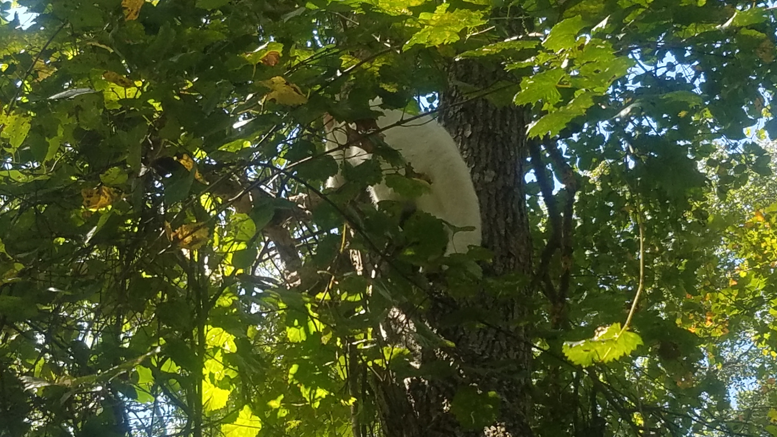 2560x1440 In crook of tree, Cat, in Dog treed cat, by John S. Quarterman, for OkraParadiseFarms.com, 29 August 2018