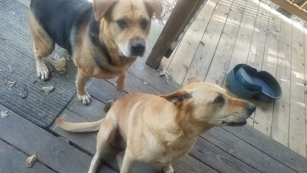 Brown Dog, Yellow Dog, Pooch Deck