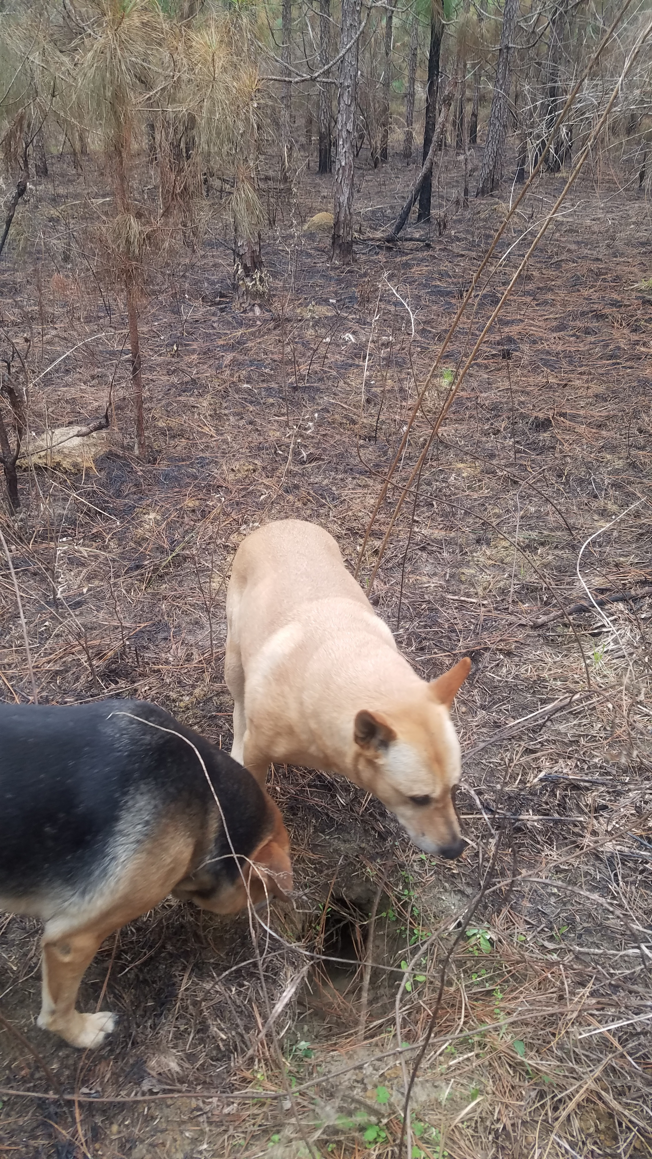 2268x4032 With dogs, Gopher hole, in Gopher tortoise burrow in burned longleaf, with dogs, by John S. Quarterman, for OkraParadise.com, 27 January 2019