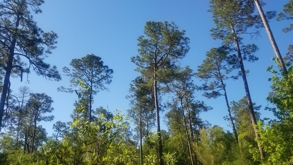 More in the distance, Native longleaf