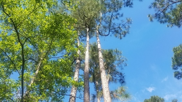 Up, Group of longleaf