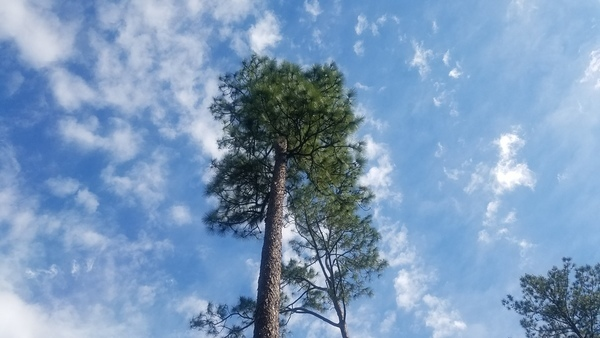 More longleaf, The Greenway