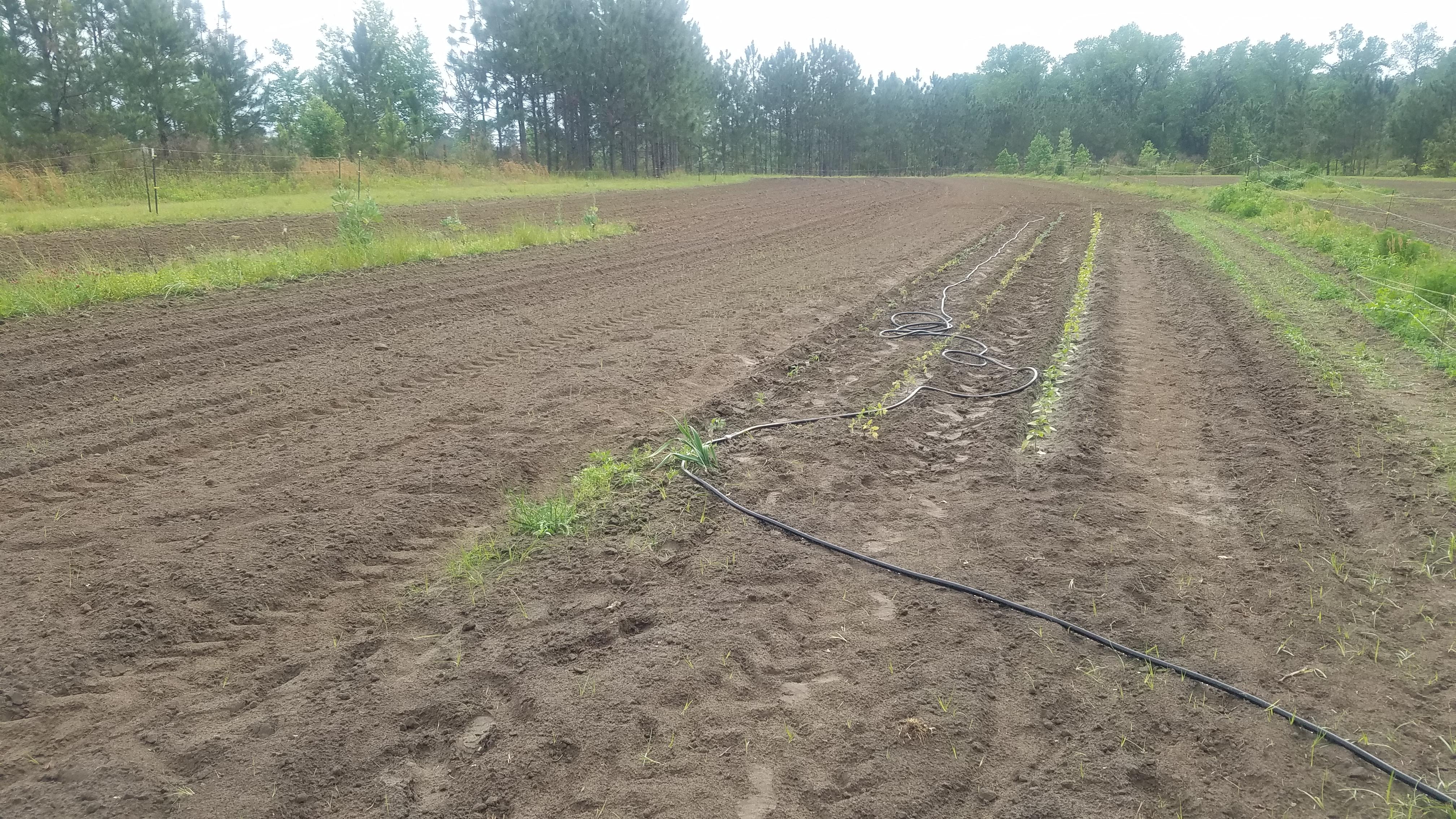 4032x2268 Water hose no longer necessary., After rain, in Planting Garden, by John S. Quarterman, for OkraParadise.com, 8 April 2019