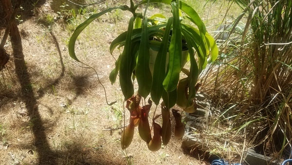 Shade side, Pitcher plant