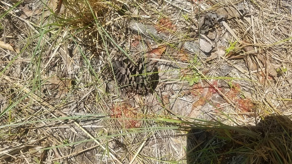 Patch and pine cone, Sundew