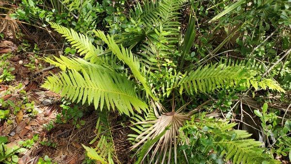 Cinnamon Fern, Ferns