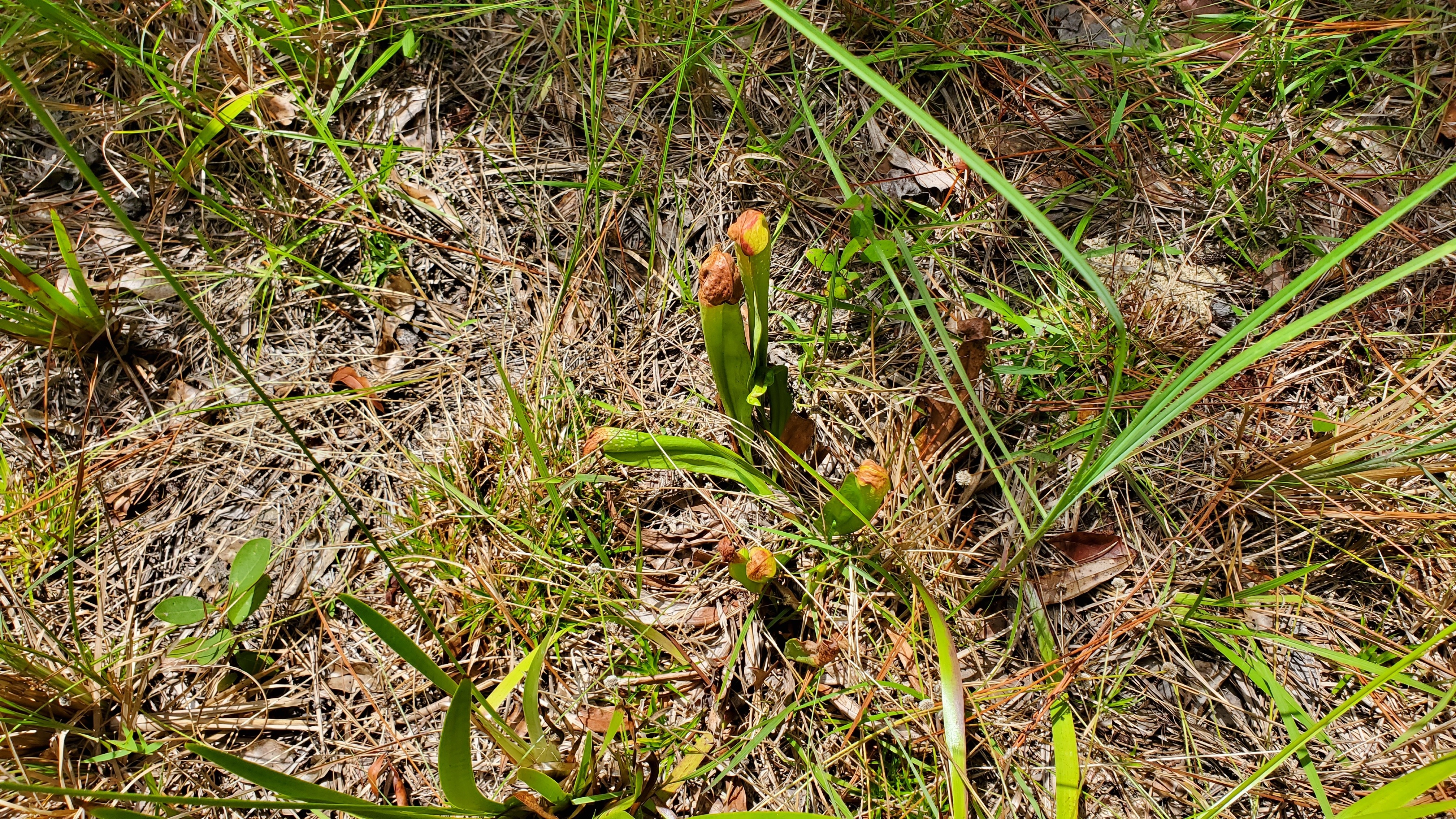 4032x2268 Bunch, Pitcher plants, in Johnsons with okra, corn, and pitcher plants, by John S. Quarterman, for OkraParadiseFarms.com, 24 June 2019