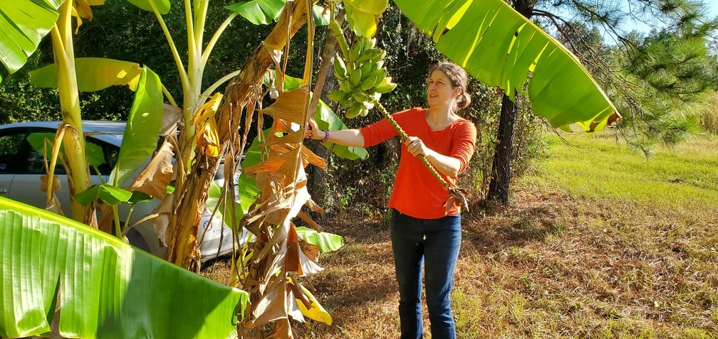 1008x477 Whack, Another bunch, in Peggy catches bananas, by John S. Quarterman, for OkraParadiseFarms.com, 13 October 2019