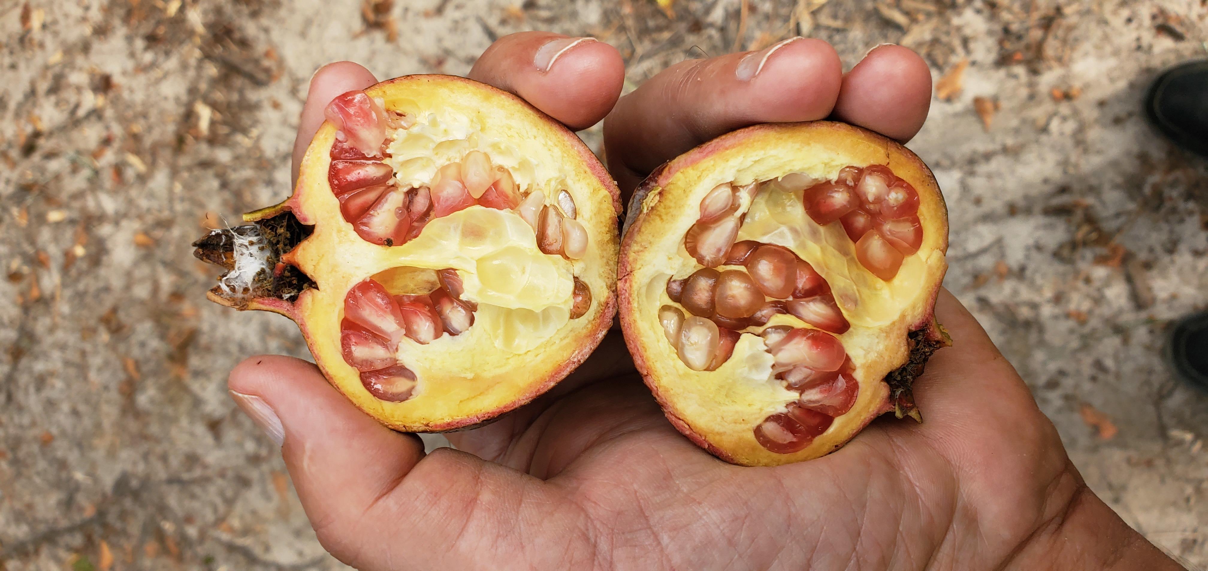 4032x1908 Only one, but we grew it, Inside, in Pomegranate, by John S. Quarterman, for OkraParadiseFarms.com, 7 October 2019