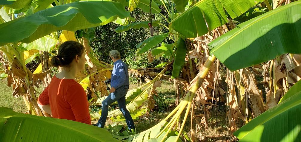 1008x477 Lets get this one!, In the banana trees, in Peggy catches bananas, by John S. Quarterman, for OkraParadiseFarms.com, 13 October 2019