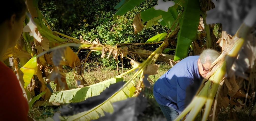 1008x477 Peggy and Gretchen, In the banana trees, in Peggy catches bananas, by John S. Quarterman, for OkraParadiseFarms.com, 13 October 2019