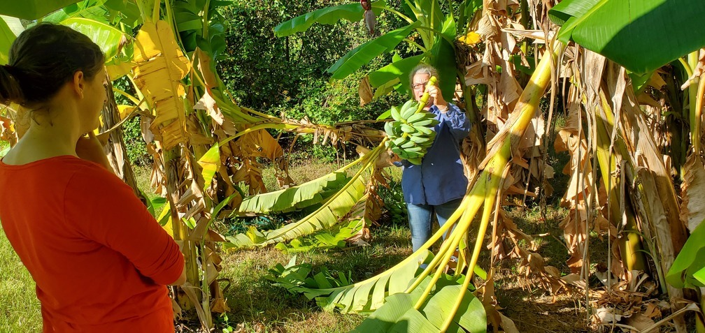1008x477 Visible Gretchen, Success, in Peggy catches bananas, by John S. Quarterman, for OkraParadiseFarms.com, 13 October 2019